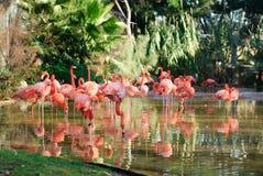 Flamingos Royalty Free Stock Image