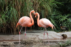 Flamingos. Two Flamingos in a tropical setting Royalty Free Stock Image