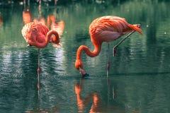 Flamingos Stock Photography