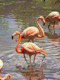Flamingos. Standing still in water Royalty Free Stock Photo