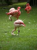 Flamingos. Group of flamingos filtering plankton from grass Stock Photography
