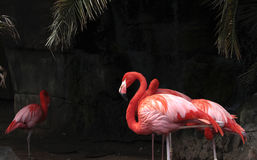 Flamingos fotos de stock royalty free