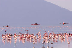 Flamingos   Royaltyfria Foton