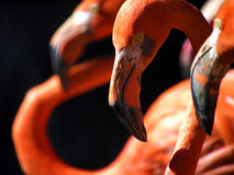 Free Flamingos Royalty Free Stock Photos - 38147498