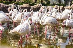 flamingos Arkivbilder