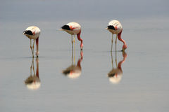 Flamingos Lizenzfreie Stockfotos