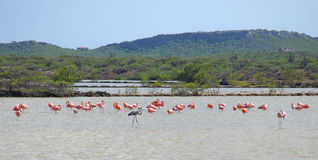 flamingos Royaltyfri Foto