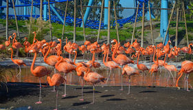 Flamingos Imagens de Stock Royalty Free