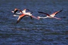 flamingos Royaltyfria Bilder