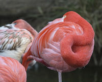 Flamingos Stockfotos