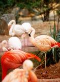 flamingos Arkivfoton