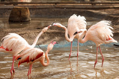 flamingos Royaltyfri Fotografi