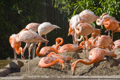 Flamingos. Captured in a large group stock photos
