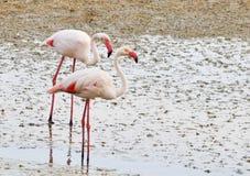 flamingos Arkivfoto