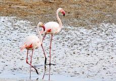 flamingos Royaltyfri Bild