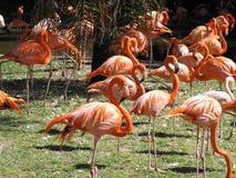 Flamingos foto de stock