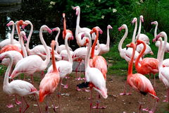 Flamingos. Beautiful orange flamingo birds in zoo stock images