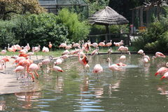 flamingos Royaltyfri Bild