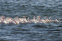 Flamingos. In Walvis Bay Namibia Royalty Free Stock Images
