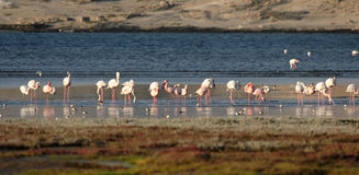 Flamingos. On the beach in Namibia stock photo