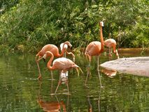Flamingos! Royalty Free Stock Image