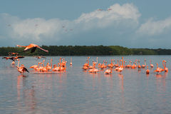 Flamingos Fotografia de Stock