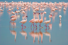 flamingos Royaltyfri Foto