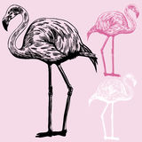 Flamingos Royalty Free Stock Photos