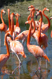 Flamingos. A flock of flamingos wading in shallow water Royalty Free Stock Photo