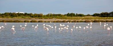 flamingos Arkivbild