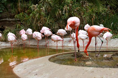 Flamingos. A flock of flamingos- some sleeping and some eating Royalty Free Stock Photography