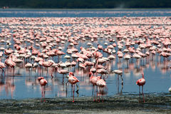 Flamingos in Africa Stock Image
