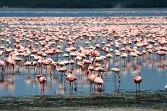 Flamingos in Africa Stock Image