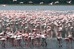 Flamingos in Africa Royalty Free Stock Images