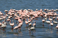 Flamingos in Africa Stock Images