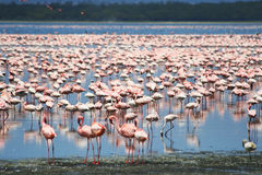 Flamingos in Africa Royalty Free Stock Photos