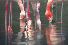 Flamingos africanos foto de stock