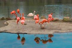 Flamingos americanos Fotografia de Stock Royalty Free