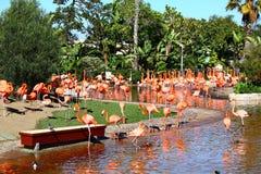 Flamingos americanos bonitos em San Diego foto de stock royalty free
