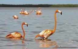 Flamingos americanos (Phoenicopterus Ruber) Fotografia de Stock Royalty Free