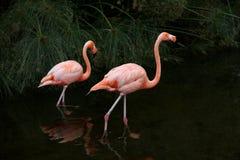 Flamingos americanos vermelhos. Fauna de Argentina. Fotos de Stock Royalty Free