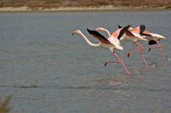 Flamingos artísticos Fotografia de Stock Royalty Free