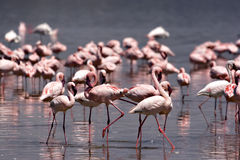 Free Flamingos At Nakuru Royalty Free Stock Photo - 7232015