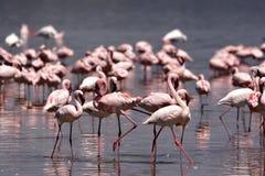 Flamingos At Nakuru Royalty Free Stock Photo