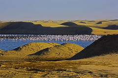 Free Flamingos At Sunset In Coastal Ponds Of Walvis Bay Stock Images - 81643094