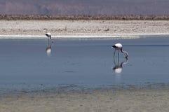 Flamingos at Atacama desert Royalty Free Stock Image