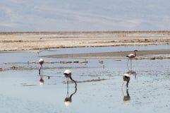 Flamingos at Atacama desert Stock Photo