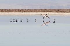 Flamingos at Atacama desert Stock Photography