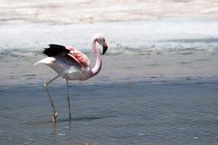 Flamingos at Atacama desert Royalty Free Stock Images