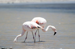 Flamingos at Atacama desert Stock Photos